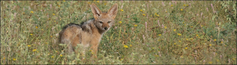 Black-backed Jackal - Tuli Block