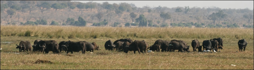 Buffalo - Chobe National Park