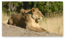 Lioness - Khwai, Moremi Game Reserve